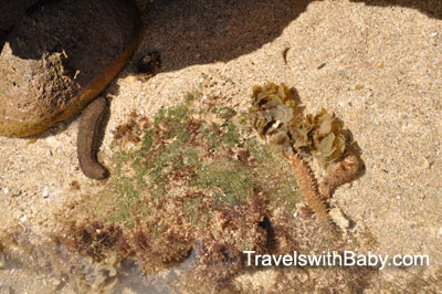 Sea cucumbers at Salt Pond Park, Kauai