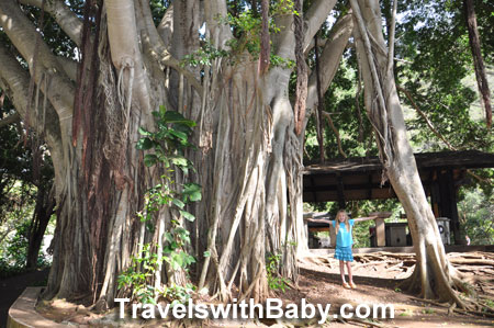 Banyan tree at Iao Valley State Park