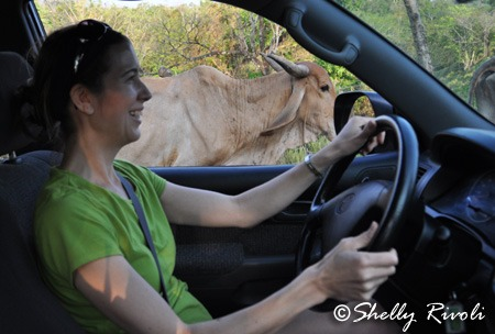 driving in Costa Rica with Cows